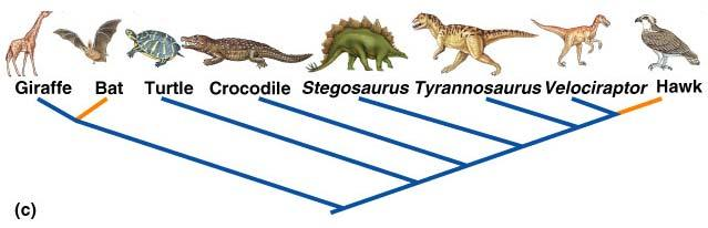 Interpreting A Cladogram Monophyletic Group Interpreting A Cladogram Paraphyletic Group Common Ancestor All Descendants Included Common Ancestor Not all Descendants included Polyphyletic Group