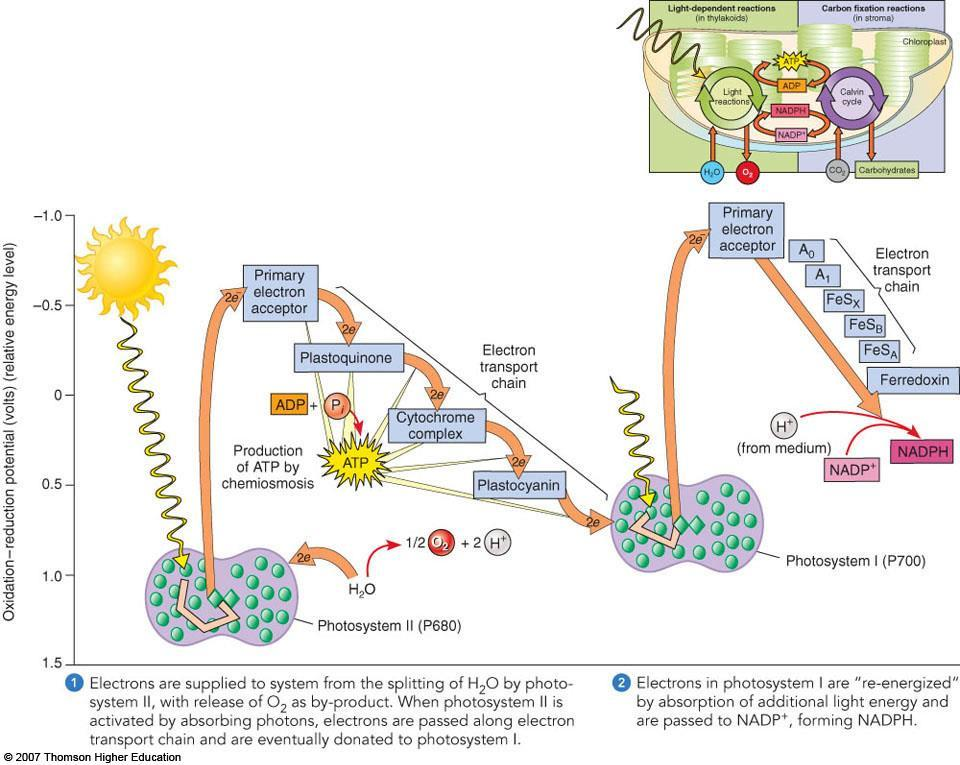 B. Light-dependent reactions 1. Produce ATP and NADPH 2. Occur in the thylakoid membranes 3. Overview a. Energy from light causes chlorophyll to expel a high-energy electron b.