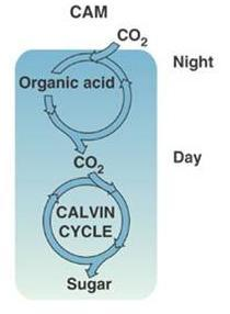Alternative mechanisms of carbon fixation Certain plant species have evolved alternate modes of carbon fixation to minimize photorespiration C 4 PLANTS- EX: sugarcane and corn Minimizes