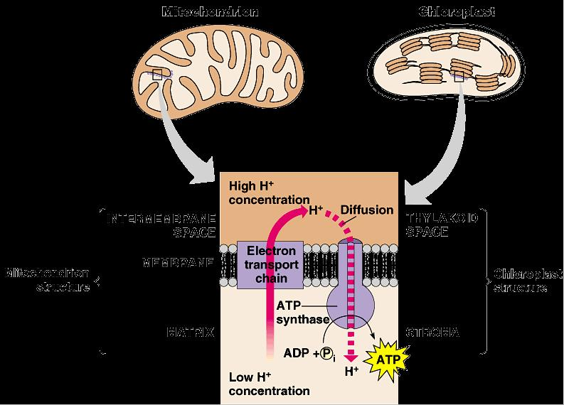 Light reactions Electron Transport Chain like in cellular respiration proteins in organelle membrane electron acceptors NADPH