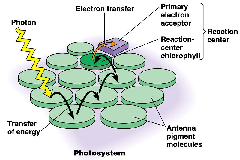 Photosystems of photosynthesis 2 photosystems in thylakoid membrane collections of chlorophyll molecules act as light-gathering molecules Photosystem II