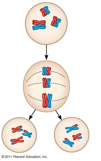 Events Unique to Meiosis I (not in mitosis) 1. Prophase I: Synapsis and crossing over 2.
