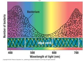 photosynthetic organisms Bacteria tend to gather in areas of high oxygen 13 Which Wavelengths are Used in Photosynthesis: The Scientific Method at Work Hypothesis: Algae will photosynthesize when