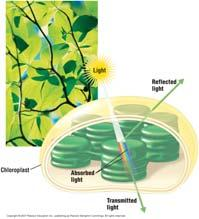 bacteria will gather in that area 14 Which Wavelengths are Used in Photosynthesis: The Scientific Method at Work Methods: Algae placed in strip on microscope slide Bacteria add to slide Light shown