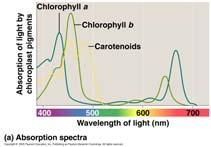 Photosynthetic Pigments in Chloroplasts 18 Photosynthetic Pigments in Chloroplasts 19 Chlorophyll a Required for photosynthesis Absorbs blue-violet and red light Accessory