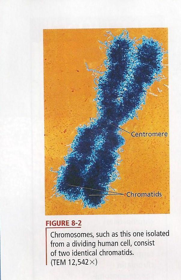 CHROMOSOMES ARE MADE UP OF TWO CHROMATIDS.
