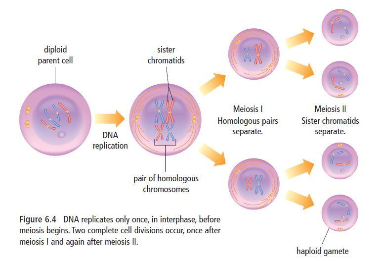MEIOSIS: REDUCING