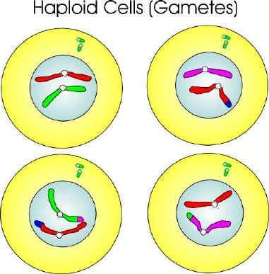 MEIOSIS - CYTOKINESIS Same process as in mitosis. Four non-identical cells are formed.