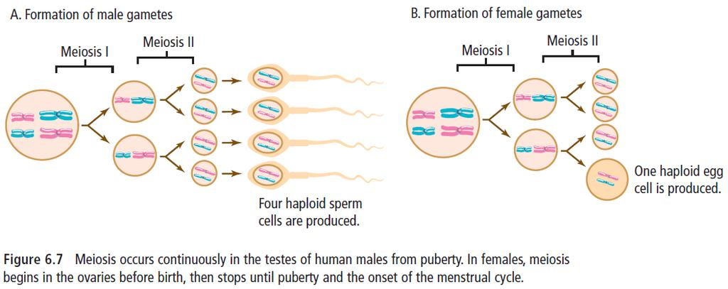 GAMETE FORMATION Males produce 4 sperm for every round of meiosis Females produce one egg for each round of meiosis: