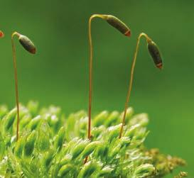 The male gametangia, called antheridia (singular, antheridium), produce sperm and release them into the environment.