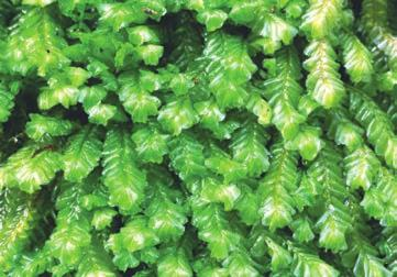 Other liverworts, such as Plagiochila, below, are called leafy because their stemlike gametophytes have many leaflike appendages.