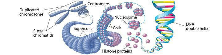 Eukaryotic Chromosomes In eukaryotic cells, chromosomes are located in the