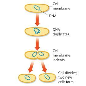 The Prokaryotic Cell Cycle Most prokaryotic cells begin to replicate, or copy, their DNA once they have grown to a certain size.