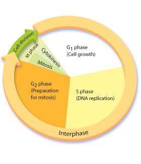 The Eukaryotic Cell Cycle The eukaryotic cell cycle consists of four phases: G1, S, G2, and M.