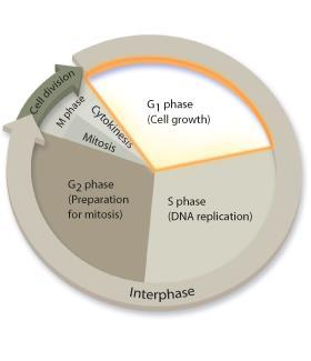 M Phase: Cell Division In eukaryotes, cell division occurs in two stages: mitosis and