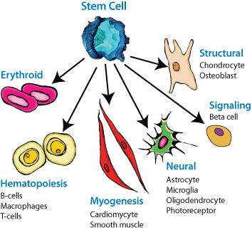 Cell Specilization The process by which cells become specialized is known as differentiation.