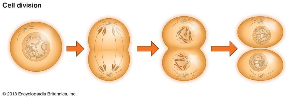 Division of the Cell Before a cell grows too large, it divides into two new daughter cells in a process called cell division.
