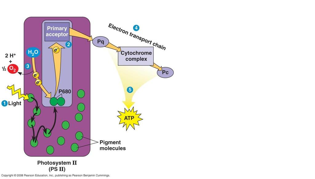 Electrons fall down an electron transport chain Energy helps pump hydrogen ions into the thylakoids Diffusion of H +