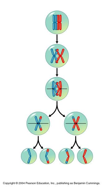 Crossing Over Crossing over Homologous chromosomes exchange genetic information (trade pieces) Genetic recombination occurs (new combinations & variations produced)