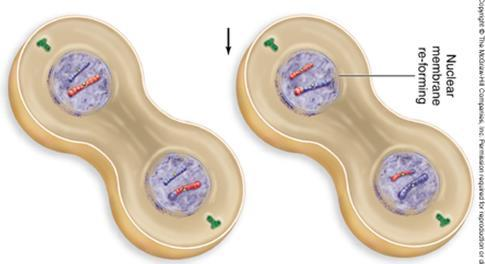 Telophase II and Cytokinesis Nuclei form at opposite poles of the