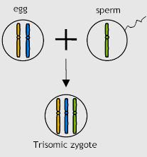 Meiosis error - fertilization Should the gamete with the chromosome pair be fertilized then the offspring