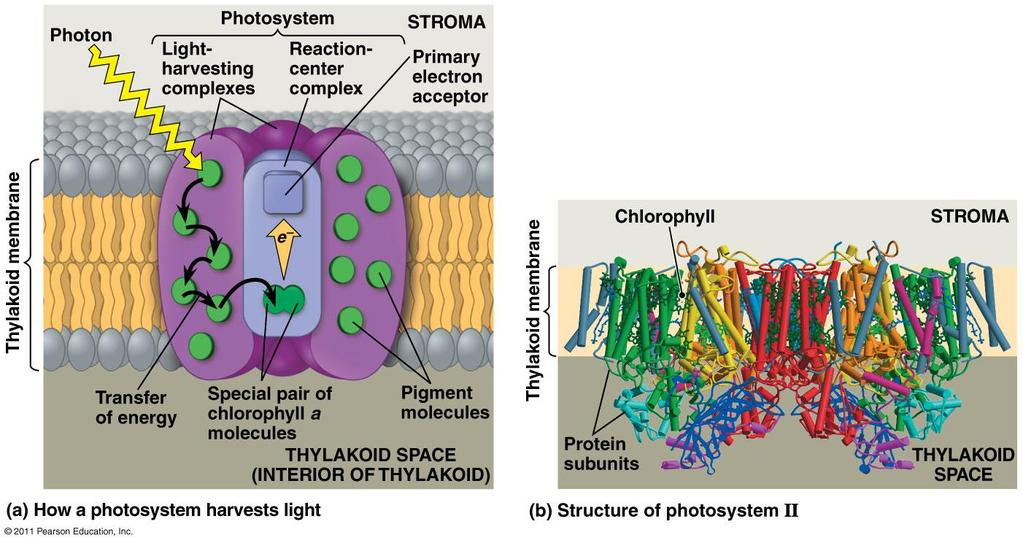 Photosystem: reaction center &