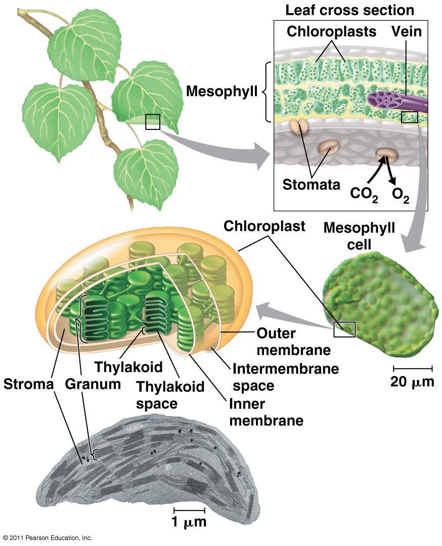 Sites of Photosynthesis : chloroplasts mainly found in these cells of leaf :