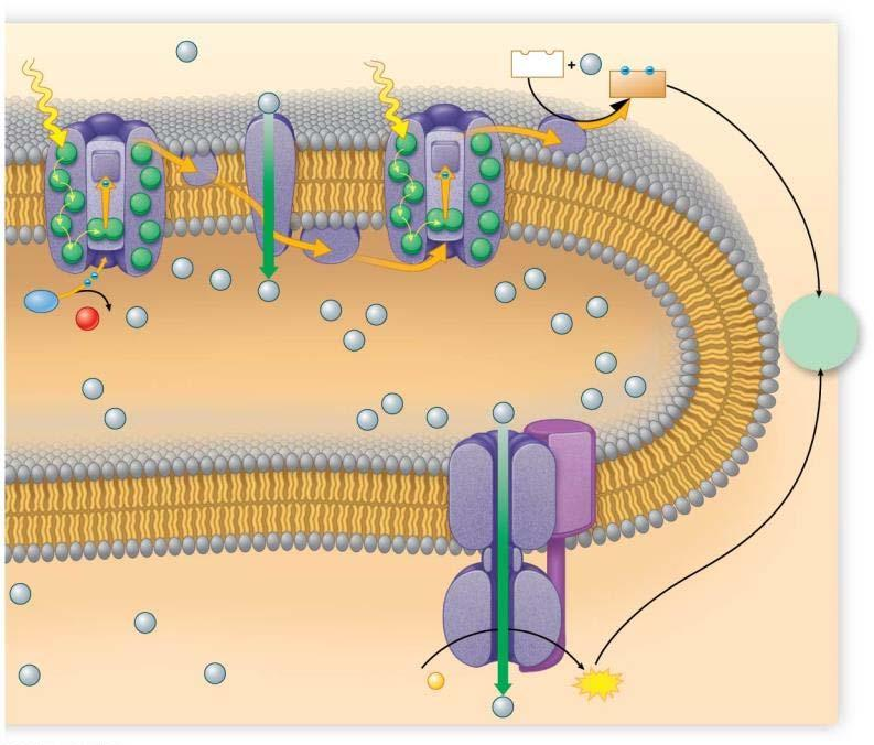 Photosystem II Electron transport chain Photosystem I NADP + NADPH H 2 O 1 O 2 + 2