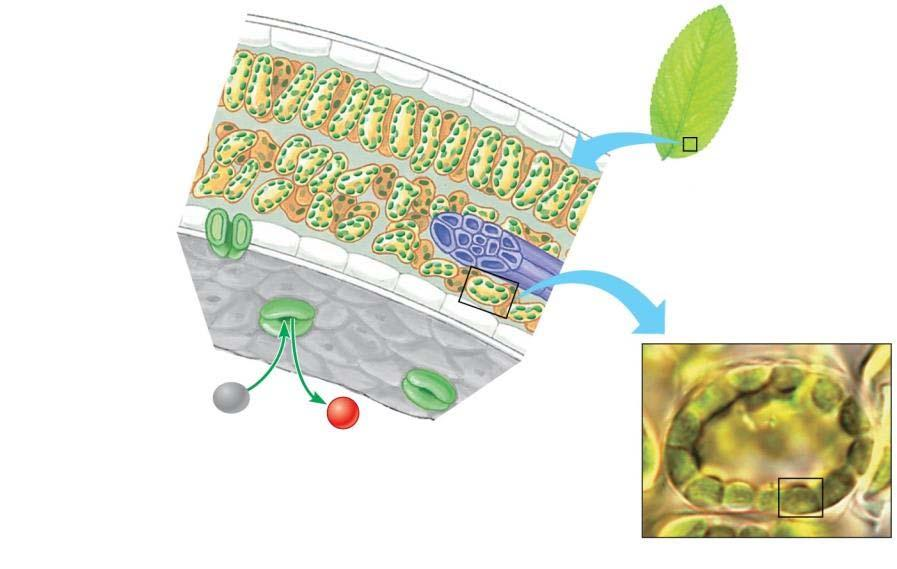 chloroplasts. Important for photosynthesis!