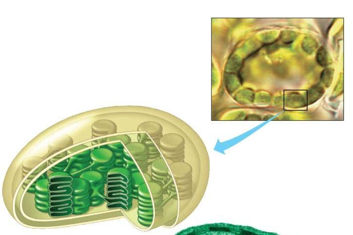 outer membranes Note: prokaryotes can have
