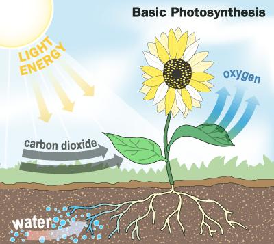 Photosynthesis In the presence of light, plants, and other photoautotrophs, transform carbon dioxide and water into
