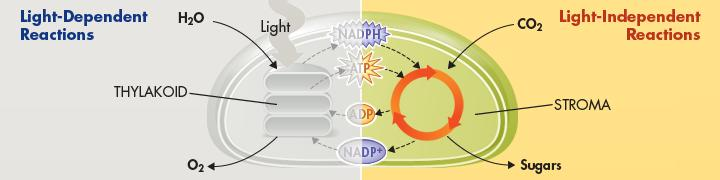 Hydrogen Ion Movement and ATP Formation (continued) = Chemiosmosis Enables light-dependent electron transport to produce not only NADPH (at