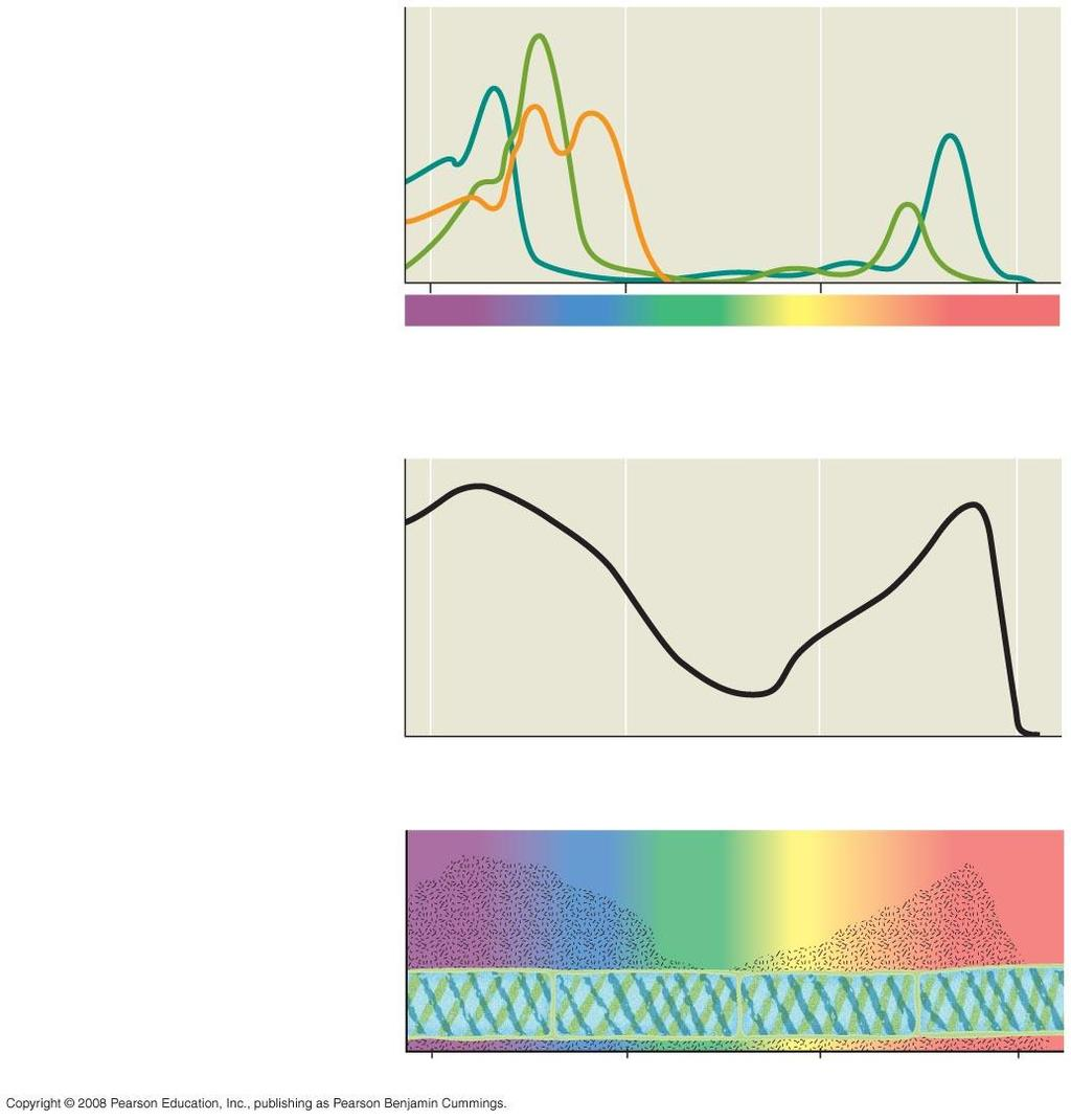 Fig. 10-9 RESULTS Chlorophyll a Chlorophyll b Carotenoids (a) Absorption spectra 400 500 600 700 Wavelength