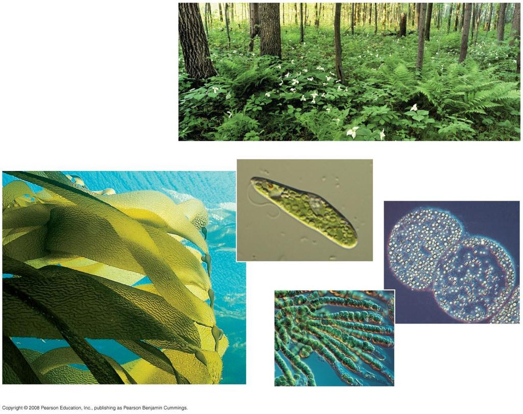 Photosynthesis occurs in plants, algae, certain other protists, and some