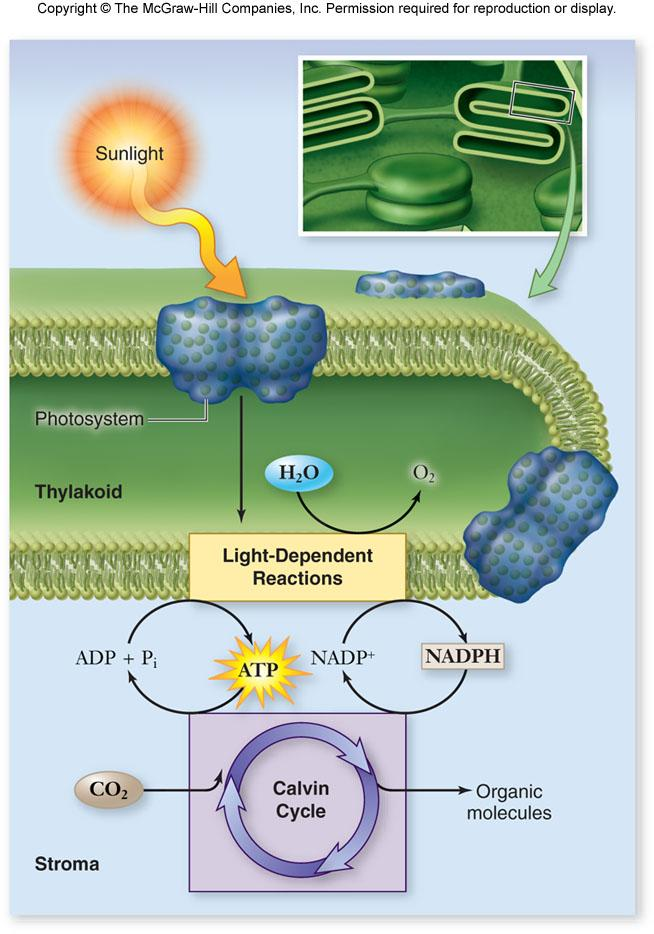 4 Photosynthesis Overview Photosynthesis takes place in chloroplasts.