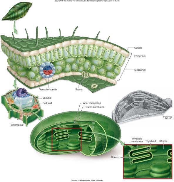 5 6 Photosynthesis Overview Photosynthesis takes place in chloroplasts.