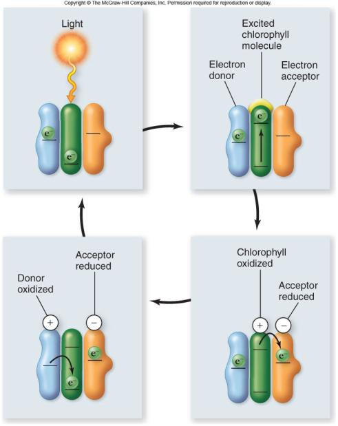 Water donates an electron to chlorophyll a to replace the excited electron. 19 20 Light-dependent reactions occur in 4 stages: 1.