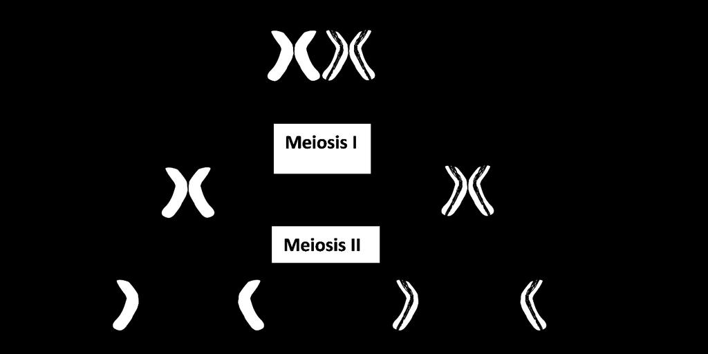 How Meiosis Makes Haploid Gametes. At the beginning of Meiosis I, the two homologous chromosomes line up next to each other. Then, the homologous chromosomes are separated into two daughter cells.