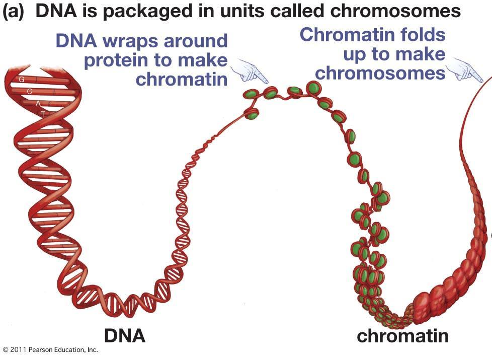 Chromosomes are associations of DNA and proteins: Chromosome structure C. Chromosome structure 1.