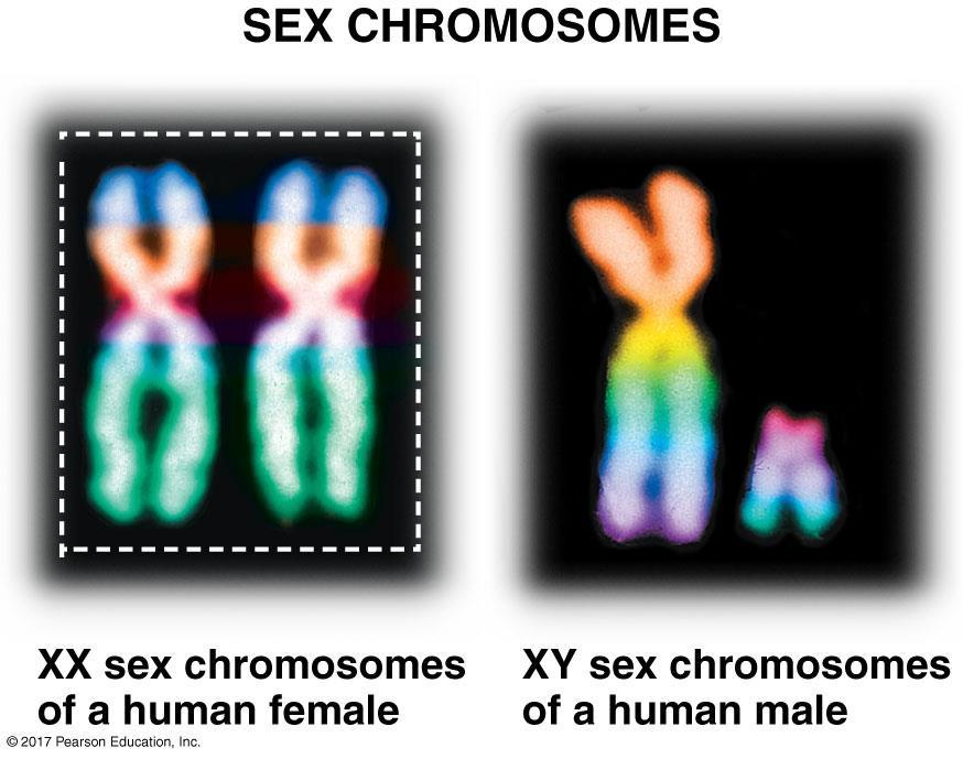 Gametes have half as many chromosomes as body cells: Sex chromosomes E. Sex chromosomes 1.