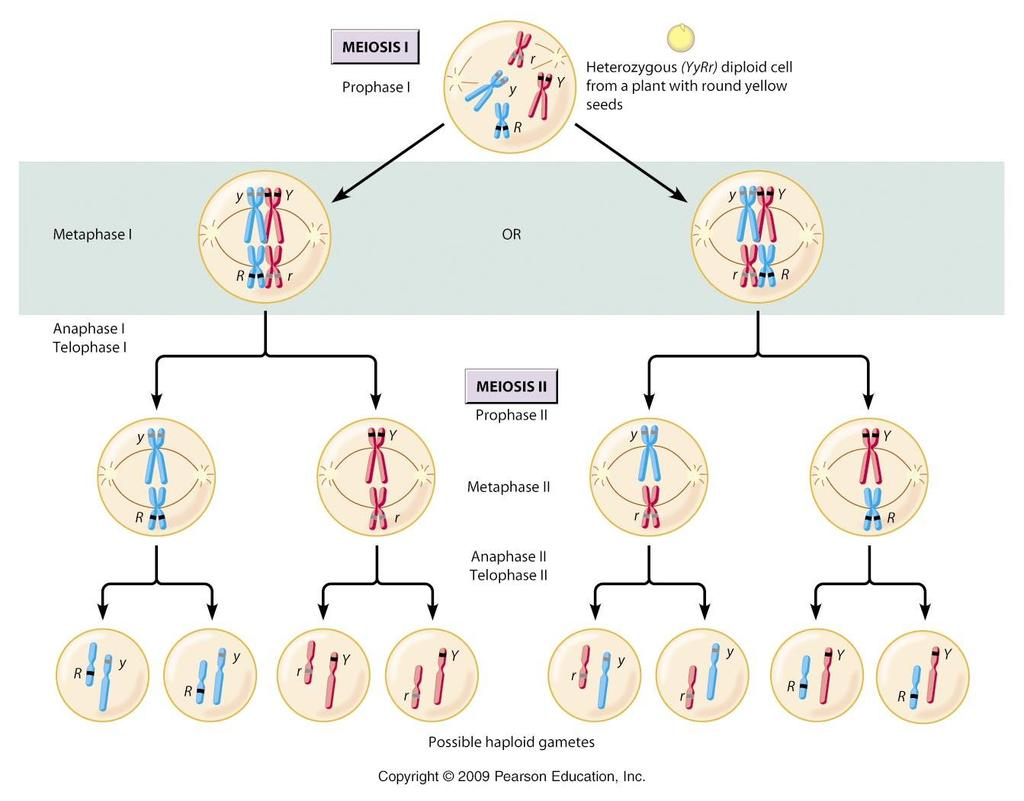 Several processes produce genetic variation among sexually reproducing organisms: Independent assortment C. Independent assortment 1. During metaphase I, chromosomes line up by homologous pairs. 2.