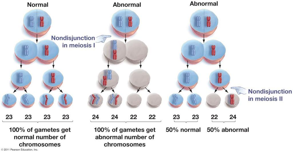 Mistakes during meiosis can produce gametes with abnormal numbers of chromosomes: Normally gametes are haploid or n B.