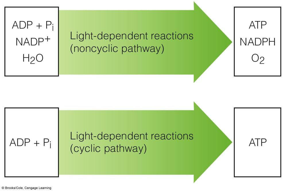 Cyclic and Noncyclic Pathways Electrons from photosystems take noncyclic or cyclic pathways,