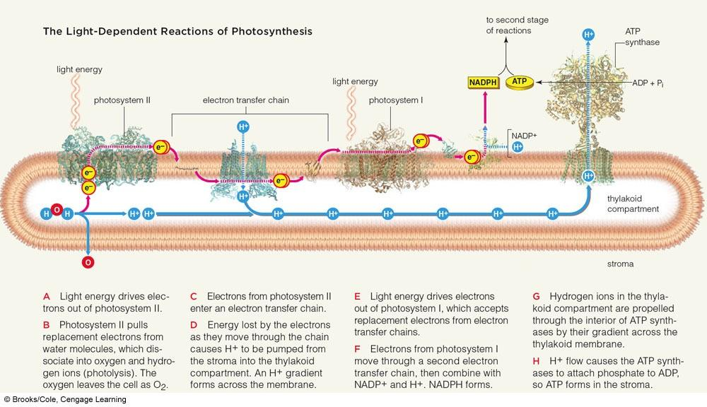 Noncyclic Pathway