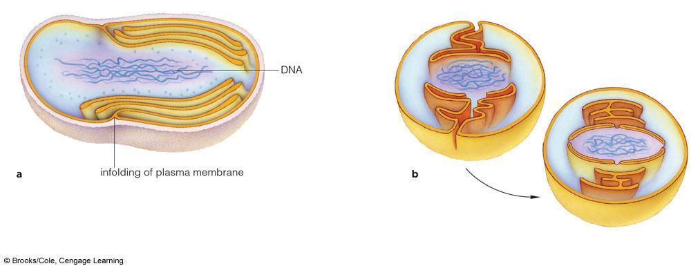 Origins of Nucleus, ER, and Golgi Body The nucleus and ER may