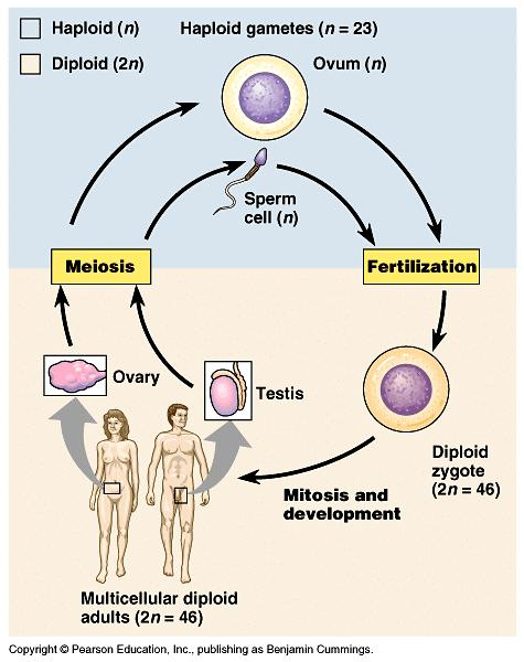 B. The Role of Meiosis in Sexual Life Cycles A LIFE CYCLE is the generation-to-generation sequence of stages in the reproductive history of an organism.