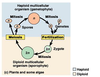 Plants and some algae have a third type of life cycle, alternation of generation. This life cycle includes both haploid (gametophyte) and diploid (sporophyte) multicellular stages.
