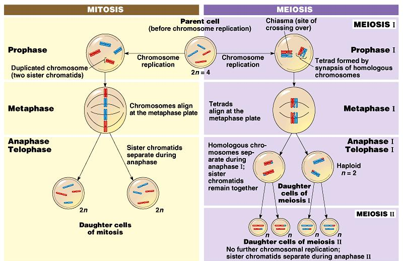 Mitosis produces two identical daughter cells, but