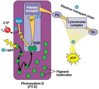 A photon hits a pigment and its energy is passed among pigment molecules until it excites P680. IV.