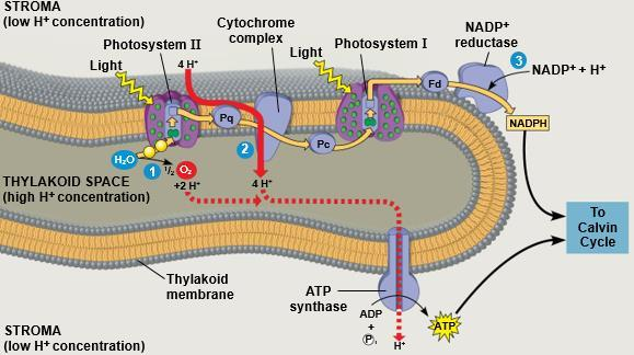 17 لجان الد فعات/تلخيص علوم حياتية 101 ATP and NADPH are produced on the side facing the stroma, where the Calvin cycle takes place.